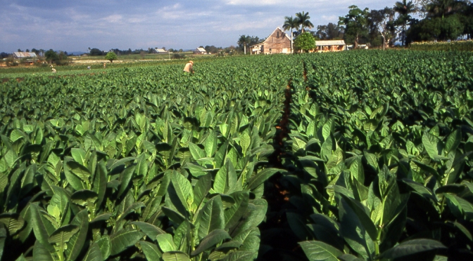 #startup #innovation: How #Tobacco could be used as a #sustainable #biofuel?