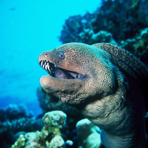 red sea dangerous species into mediterranean sea