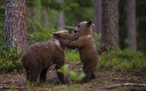 Playing bear cubs finland lasse kurkela